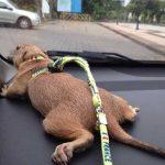 Peard-Dog
